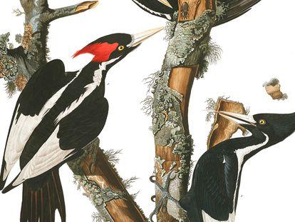 Um casal de pica-paus-bico-de-marfim, em um desenho feito pelo histórico ornitólogo John James Audubon.