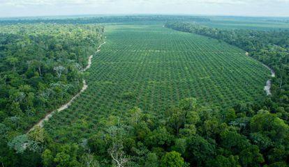 Imagem aérea da fazenda da empresa Agropalma, onde são preservados 64.000 hectares de mata nativa, incluindo árvores de até 50 metros, muito maiores que as palmeiras, como se vê na imagem