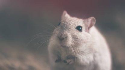 Ratos com imunidade defeituosa perdem o interesse em seus congêneres.