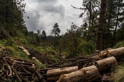 Árvores destruídas em uma floresta do Estado do México.