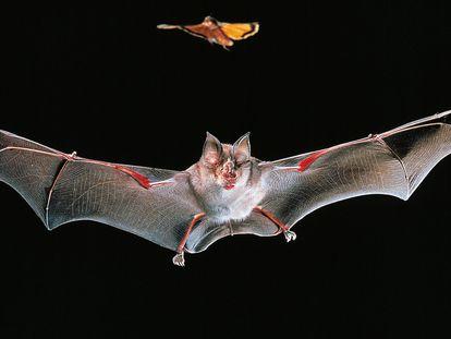 Exemplar de morcego-de-ferradura-grande ('Rhinolophus ferrumequinum'), espécie relacionada ao surgimento do coronavírus SARS-CoV-1 que provocou a epidemia de 2003.