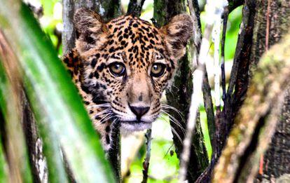 Uma onça-pintada na Amazônia.