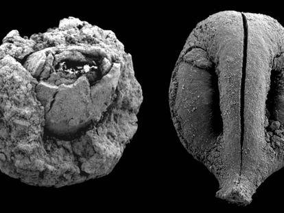 Noz (à esquerda) e semente de uva (à direita) de 780.000 anos atrás. As imagens não estão na mesma escala.