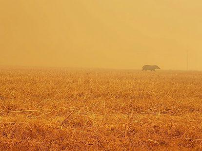 Anta foge de incêndio em Paranatinga, no Mato Grosso.