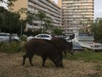 Wild boars eat the grass in a garden close to a residential buildings in Ajaccio, on the French Mediterranean island of Corsica, on April 18, 2020 on the 33rd day of a strict lockdown in France to stop the spread of COVID-19 (novel coronavirus). (Photo by Pascal POCHARD-CASABIANCA / AFP)