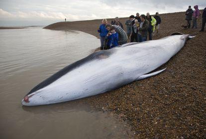 Uma jovem baleia-fin encalhada em Suffolk (Inglaterra).
