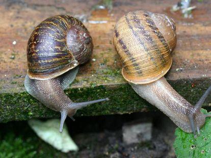 Jeremy' (esquerda) e 'Tomeu' (direita), o casal de caracóis canhotos.