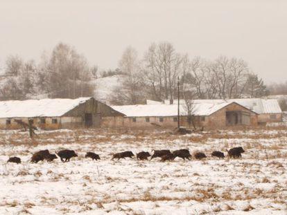 Javalis correm na frente de construções abandonadas.