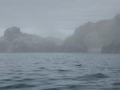 Pinguim nada perto da ilha Low Island, na Antártida.