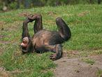 Según la doctora Behncke, estos primates se ríen de lo mismo que nosotros, con las cosquillas y las sorpresas.