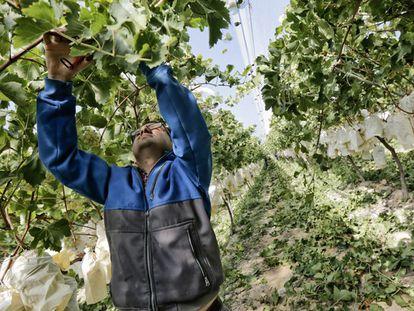 Trabalhador corta um cacho de uvas em Alicante.