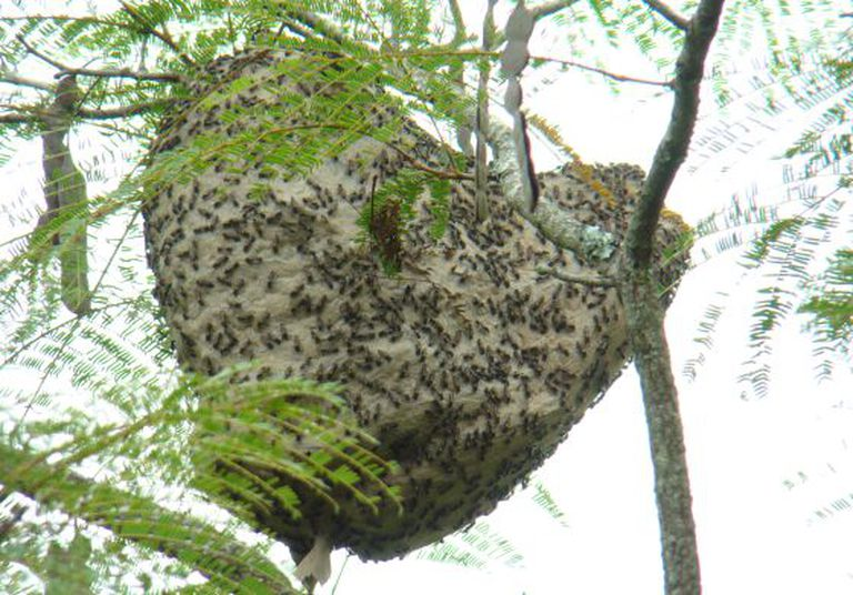 A 'paulistinha' é uma vespa social.
