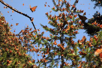 A Reserva da Biosfera Borboletas Monarca (México).