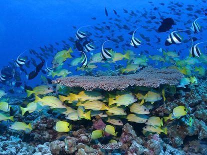 Peixes coloridos de recife em Papahãnaumokuakea.