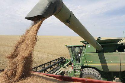 Produtor, em meio a uma plantação de trigo.