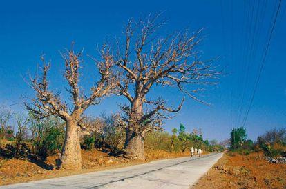 Baobás em Mandu.