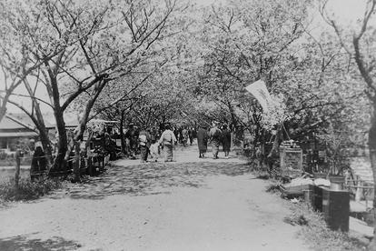 Festa do Hanami à beira do rio Arakawa, na década de 1920, numa imagem da família Funatsu.