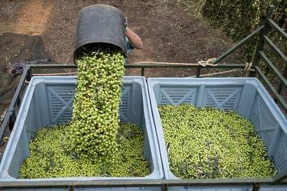 Colheita de azeitona em uma fazenda no sul da Espanha. É um dos produtos sujeitos a receber novas tarifas dos EUA, na disputa comercial com a UE.