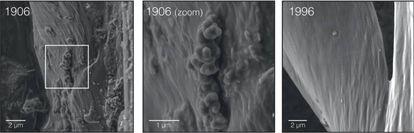Imagem de microscópio eletrônico das penas de um pardal do campo de 1906 e outro de 1996