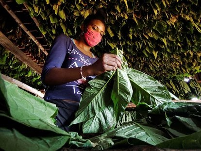 Uma mulher trabalha em uma plantação de tabaco em Viñales, ao oeste de Cuba.