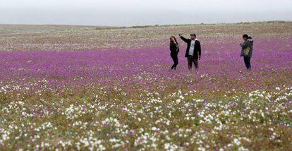 Uns visitantes sobre as flores do deserto chileno