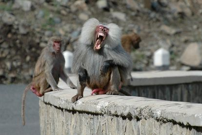 O esmalte dos dentes dos babuínos contém isótopos que permitem a identificação de seu local de nascimento.