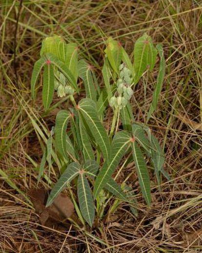 Uma das 11 variedades de mandioca ('Manihot debilis') encontradas no Brasil.
