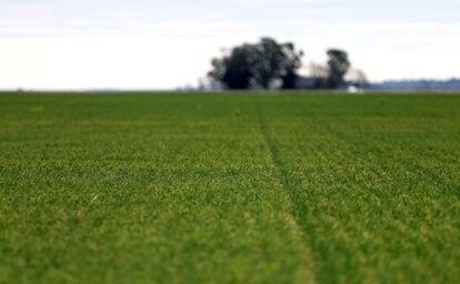 Campo semeado com trigo em Azul, província de Buenos Aires.