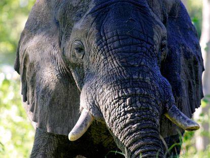 Um elefante no delta do Okavango, em Botsuana
