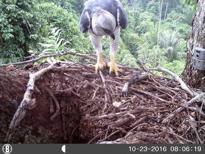 Harpia adulta chega com um braço de macaco a um ninho monitorado por uma armadilha fotográfica.