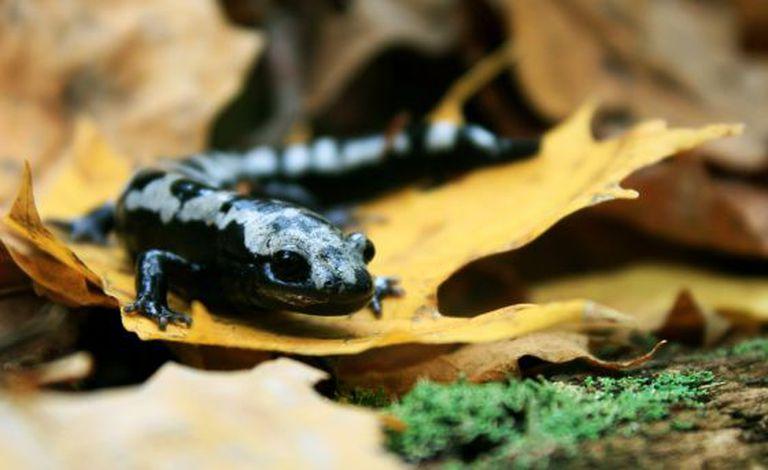 Embora os anfíbios estejam entre os animais mais afetados pela mudança climática, espécies como a salamandra prateada ampliaram sua categoria geográfica graças ao aquecimento.
