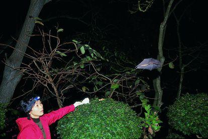 A virologista Shi Zhengli libera um morcego de uma caverna chinesa depois de lhe tirar sangue, em 2004.