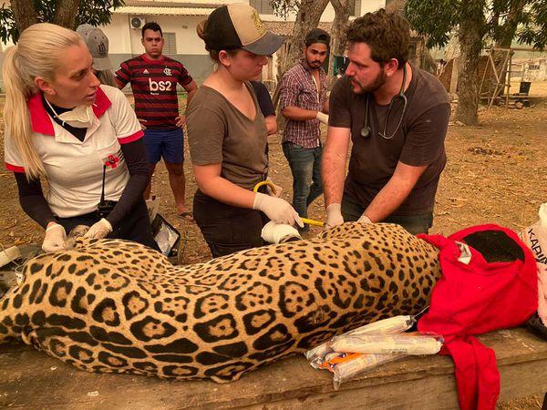 Voluntários e veterinários cuidam de onça pintada resgatada durante as queimadas no Pantanal em Mato Grosso.