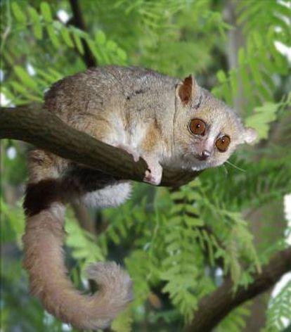 O lêmure-rato cinza hiberna durante a temporada seca de Madagascar.