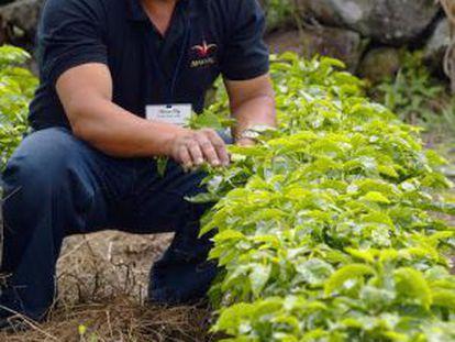 Antonio Pitty cultiva as plantas de geisha em Chiriquí, Panamá.
