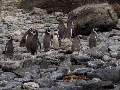A Reserva Nacional Pinguim de Humboldt, último grande bastião da espécie