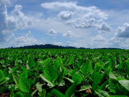 Plantações de soja em um campo nas proximidades de Sinop onde, ao fundo, se vislumbra o que resta da floresta amazônica.