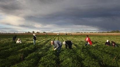 Migrantes mexicanos trabalham no campo em Wellington, Colorado.