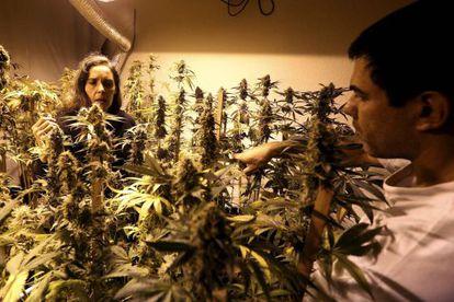Duas pessoas inspecionam plantas de maconha em Montevidéu.