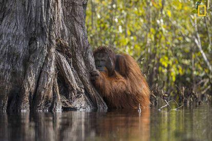 Um orangotango macho à espreita atrás de uma árvore enquanto cruza um rio em Bornéu, Indonésia.