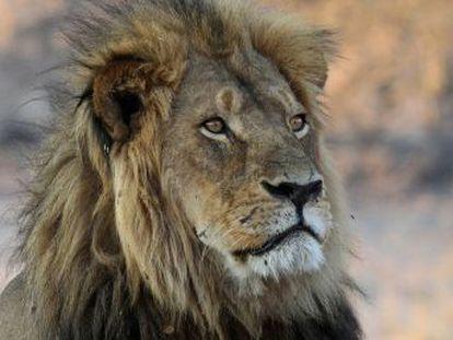Sua morte, há um ano, trouxe progressos para os leões, mas sua principal ameaça continua a dizimá-los