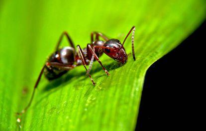 As formigas são vítimas de alguns dos parasitas mais impiedosos do planeta
