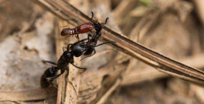Formiga ferida por um cupim é transportada por uma companheira
