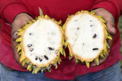 Fruta da 'Annona mucosa', espécie domesticada pelos indígenas