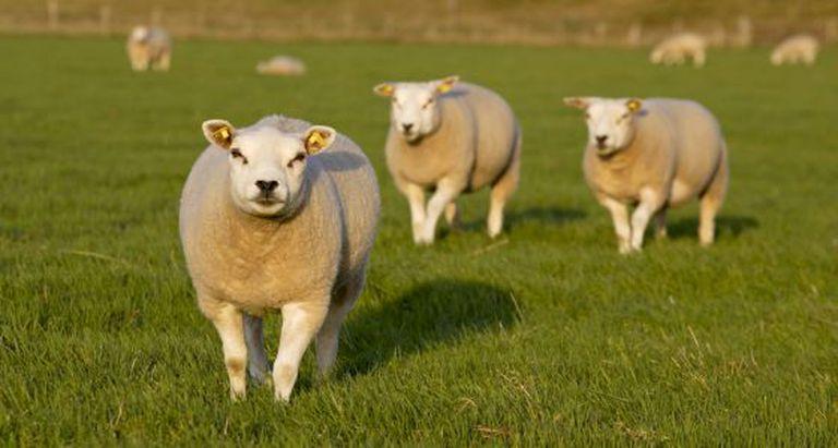 Ovelhas da raça Texel utilizadas para obter o genoma da espécie.