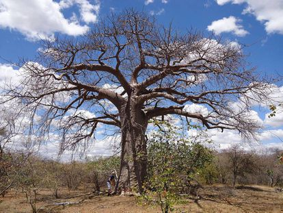 Um exemplar de baobá em Musina, África do Sul.