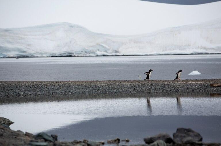 Pinguins-gentoo na Ilha Bombay, que pertence à Baía de Trinity, na Antártida. Local é um dos visitados na expedição do navio Arctic Sunrise, do Greenpeace.