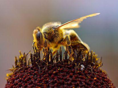 Declínio das abelhas é generalizado em todo o Hemisfério Norte.