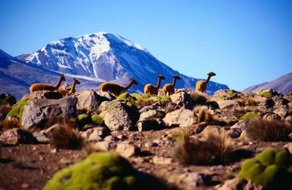 Vicunhas no parque nacional de Lauca, no Chile, com o vulcão Sajama ao fundo.
