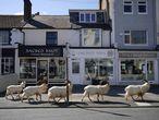 Un grupo de cabras montesas deambula por las calles de Llandudno, en Gales.